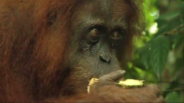Jungletrek  på Sumatra